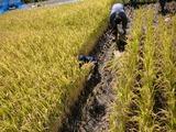 0923稲刈り4