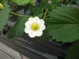 1201いちご花