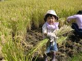 0922稲刈り1