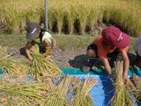 0922稲刈り6