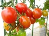 0619トマト