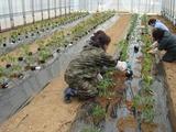 トマト苗植え1