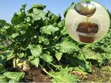 てんさいを収穫してシロップ