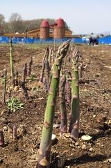 アスパラガスを収穫して畑で食べよう