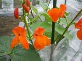 紅花豆(圧縮)