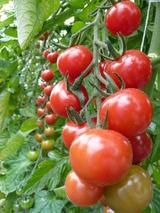5色のいろいろトマトを収穫しようM (1)