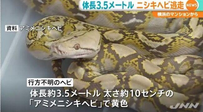 【悲報】 ニシキヘビニキ、書類送検