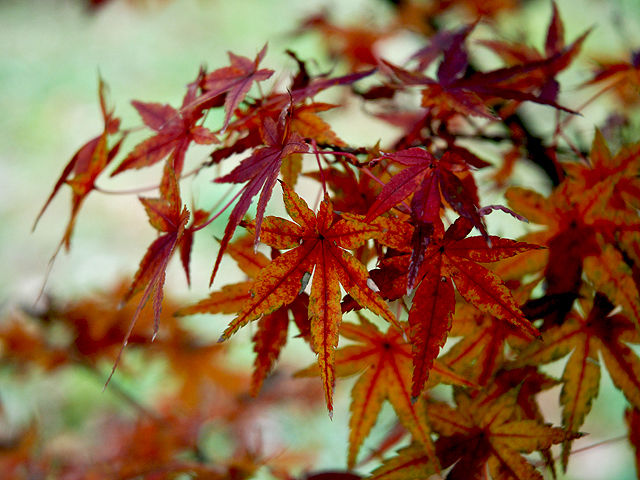 イロハモミジ イロハモミジ いろは紅葉 いろはもみじ Japanese_Maple