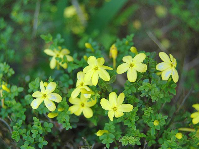 名称不明 Unknown 黄色い花