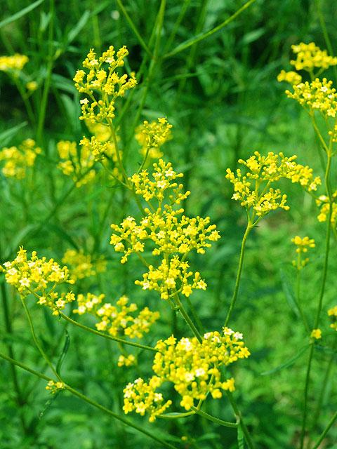 オミナエシ 女郎花 Golden Lace Patrinia オミナエシ