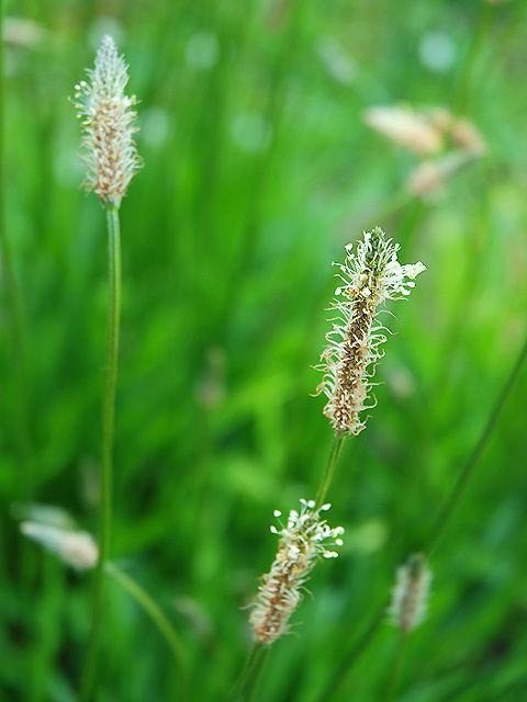 ヘラオオバコ 箆大葉子 へらおおばこ Plantain