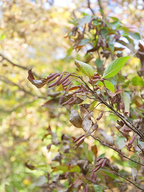 ハンノキ 榛の木 はんのき Japanese Alder ハンノキ