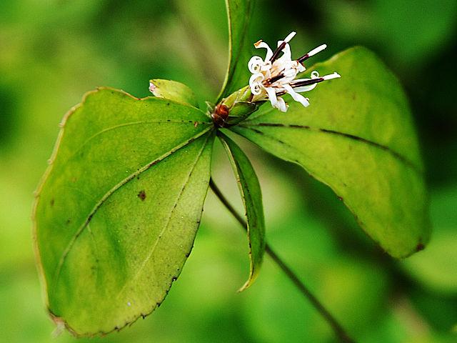 ナガバノコウヤボウキ ナガバノコウヤボウキ 長葉の高野箒 ながばのこうやぼうき