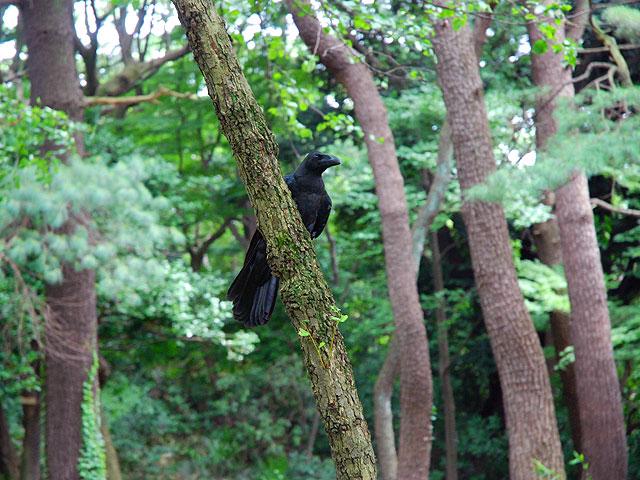 風景 Landscape カラス Crow Raven 烏 からす カラス