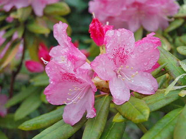 シャクナゲ 石楠花 しゃくなげ Rhododendron Rosebay 南雲 写真 植物図
