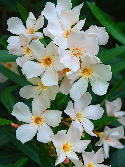 キョウチクトウ キョウチクトウ 夾竹桃 きょうちくとう Oleander