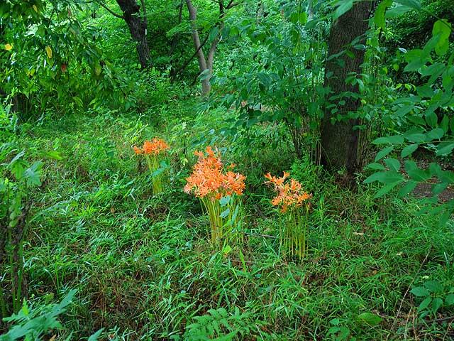 キツネノカミソリ 狐の剃刀 きつねのかみそり Red Heart Lily Magic Lilie