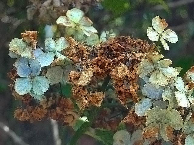 アジサイ アジサイ 紫陽花 あじさい Hydrangea