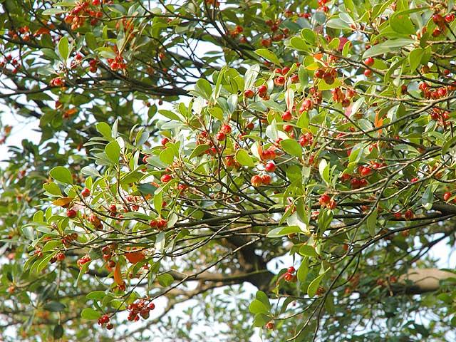 モッコク(実) 木斛 もっこく モッコク Glabrous ternstroemia