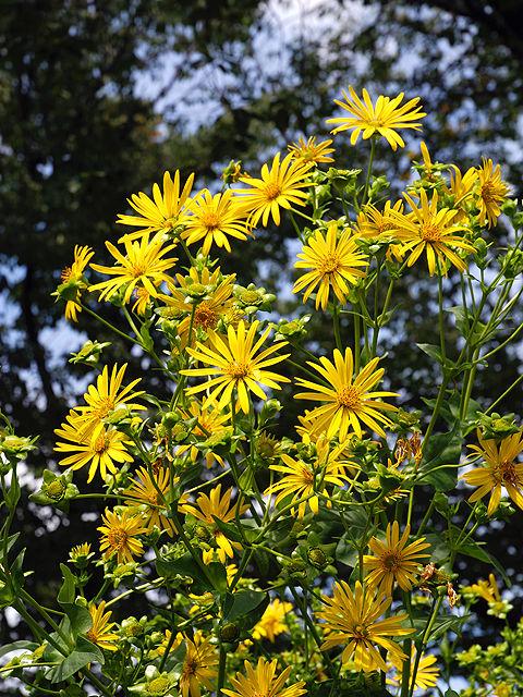 シカクヒマワリ シカクヒマワリ 四角向日葵 しかくひまわり Pineland_nerveray