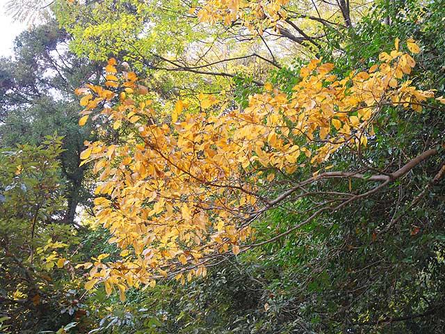 コブシ(葉) 拳 辛夷 こぶし Kobushi magnolia