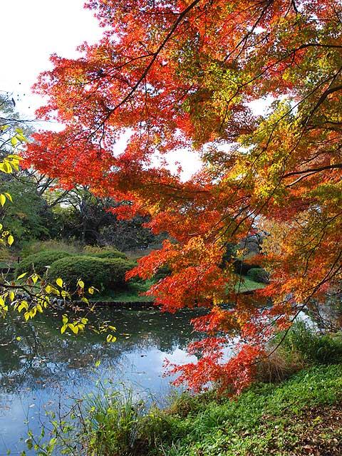 イロハモミジ いろは紅葉 いろはもみじ Japanese Maple イロハモミジ
