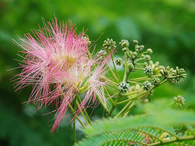 ネムノキ 合歓木 合歓の木 ねむのき Mimosa