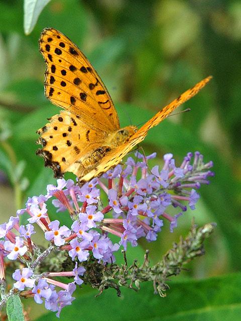 フサフジウツギ(蝶) 房藤空木 ふさふじうつぎ Butterfly bush 南雲 写真 植物図鑑 写