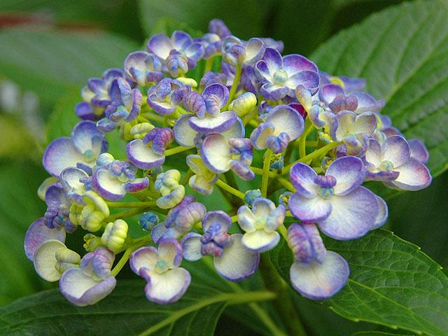 ウズアジサイ ウズアジサイ 渦紫陽花 うずあじさい 紫陽花 Hydrangea