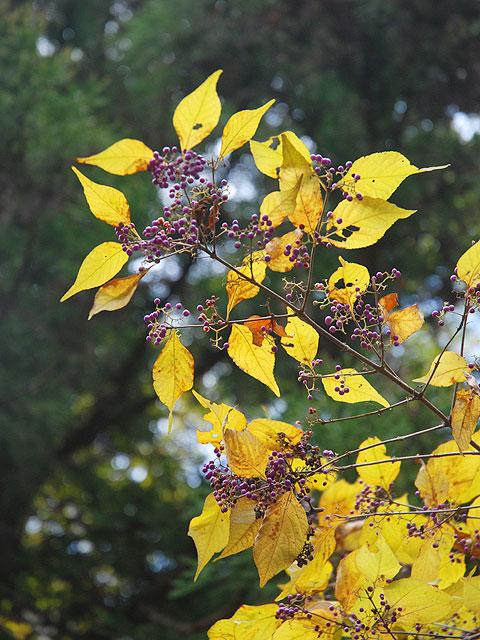 ムラサキシキブ(実) 紫式部 むらさきしきぶ Japanese beautyberry