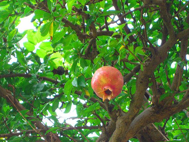 ザクロ ザクロ 石榴 ざくろ Pomegranate