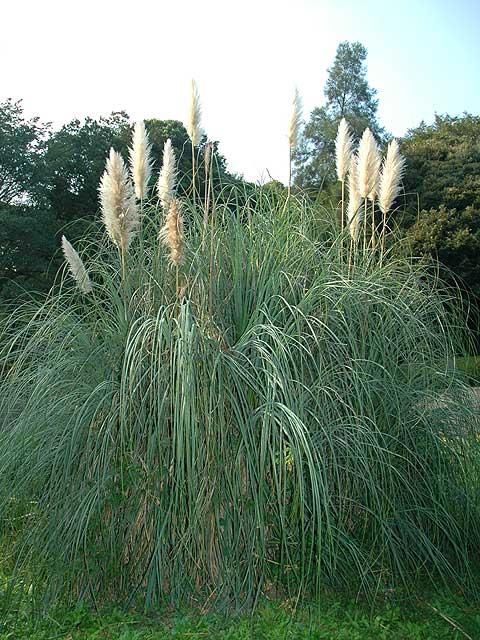 シロガネヨシ 白銀葭 しろがねよし Pampas grass 南雲 写真 植物図鑑 写真植物図