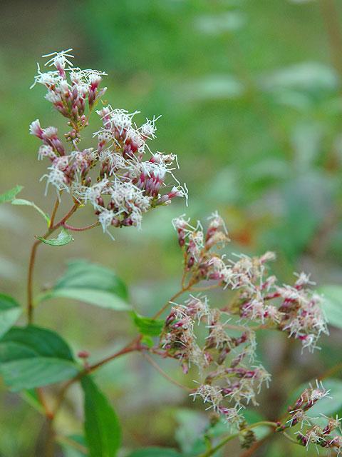 フジバカマ フジバカマ ふじばかま Thoroughwort 南雲 写真 植物図鑑 写真植物