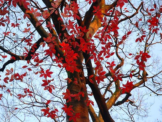 メグスリノキ 目薬の木 めぐすりのき Nikko maple