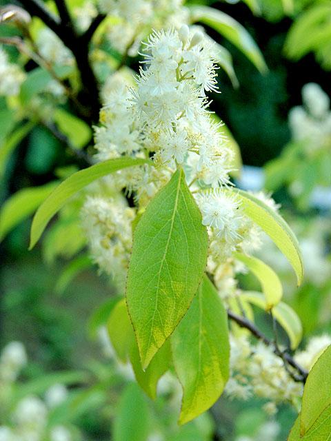クロミノサワフタギ 黒実の沢蓋木 くろみのさわふたぎ 南雲 写真 植物図鑑 写真植物図鑑