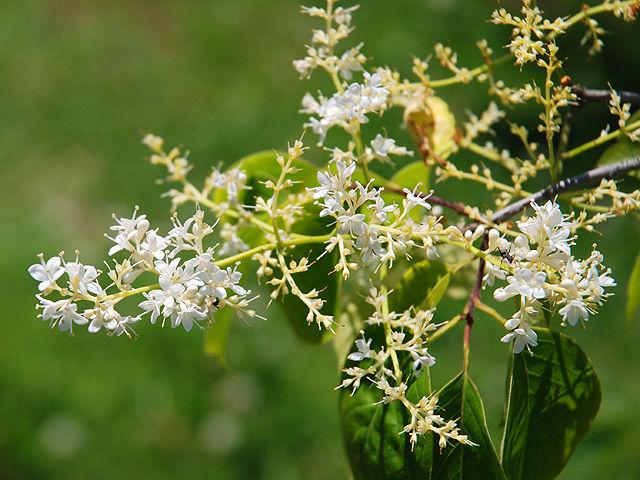 ハシドイ ハシドイ 丁香花 Japanese_Tree_Lilac
