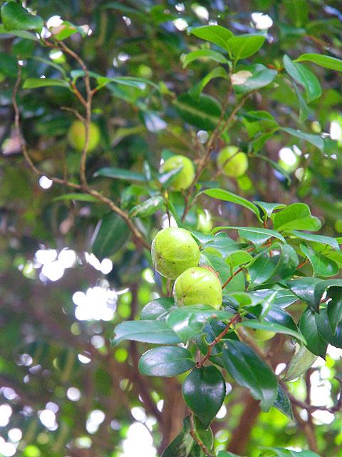 ツバキ(実) 椿 つばき Camellia ツバキ
