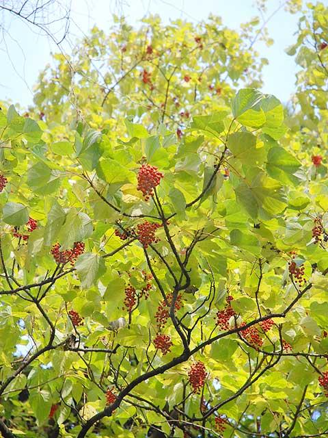 イイギリ(実) 飯桐 いいぎり Flacourtia indica イイギリ