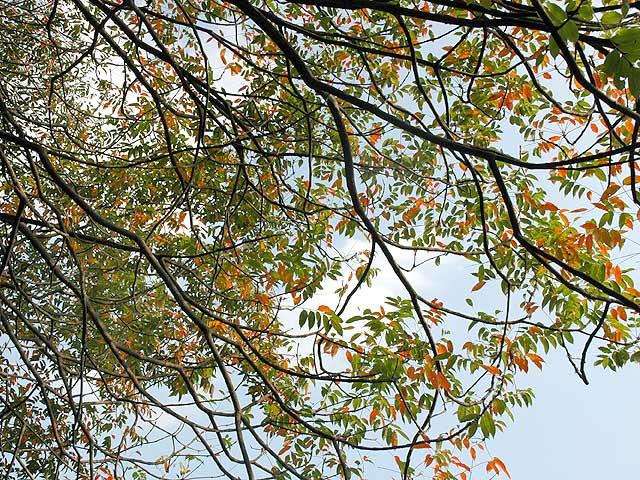 ハゼノキ ハゼノキ 櫨の木 黄櫨の木 Wax tree Japanese wax tree