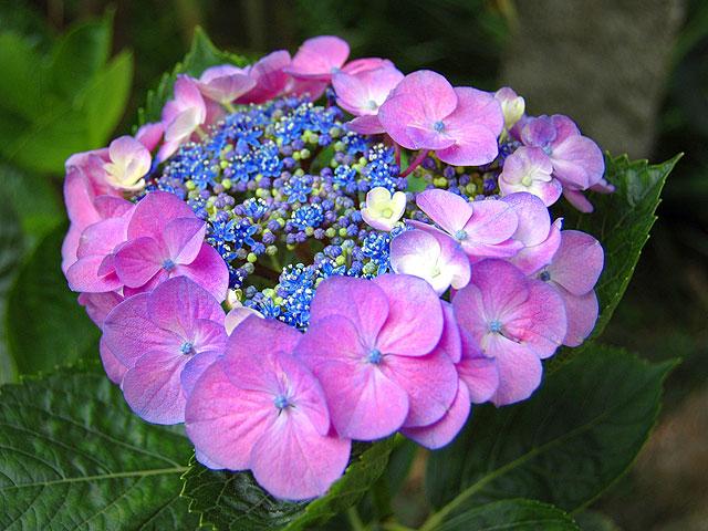 ガクアジサイ ガクアジサイ 額紫陽花 がくあじさい Lacecap_Hydrangeas