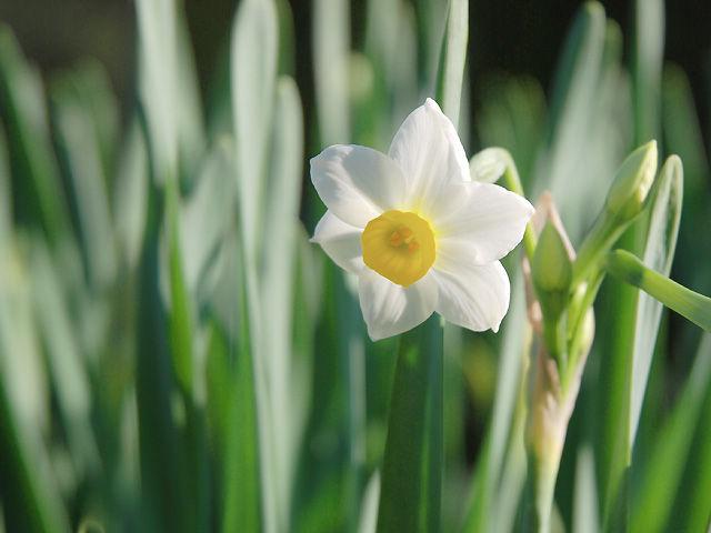 スイセン 水仙 すいせん Narcissus