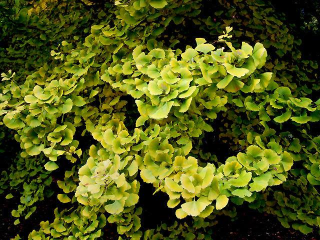 イチョウ イチョウ 銀杏 いちょう Ginkgo Maidenhair_Tree