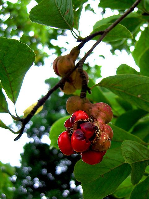 コブシ 拳 辛夷 こぶし Kobushi_magnolia