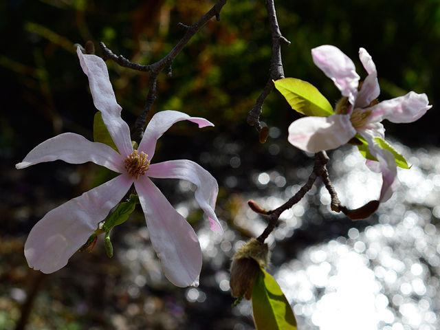 ベニコブシ 紅辛夷 べにこぶし Star magnolia