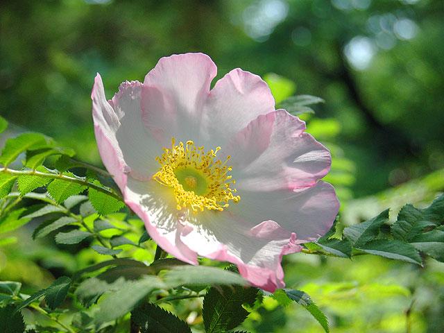 サンショウバラ 山椒薔薇 さんしょうばら 南雲 写真 植物図鑑 写真植物図鑑