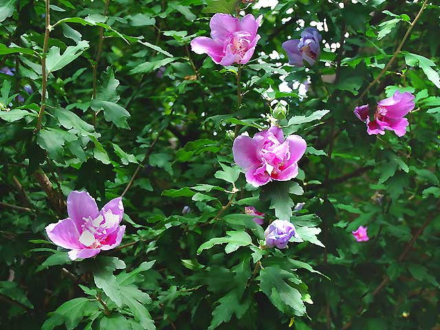 ムクゲ 木槿 むくげ Rose of Sharon Syrian hibiscus