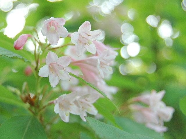 ヤブウツギ 藪空木 やぶうつぎ Crimson Weigela