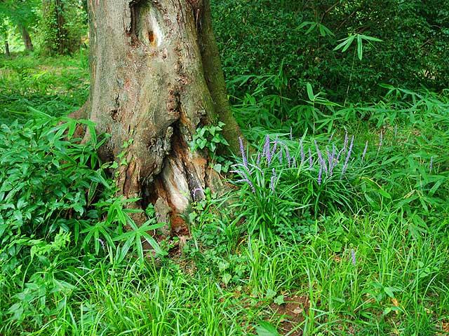 ヤブラン(風景 Landscape) 薮蘭 やぶらん Lily turf Liriope