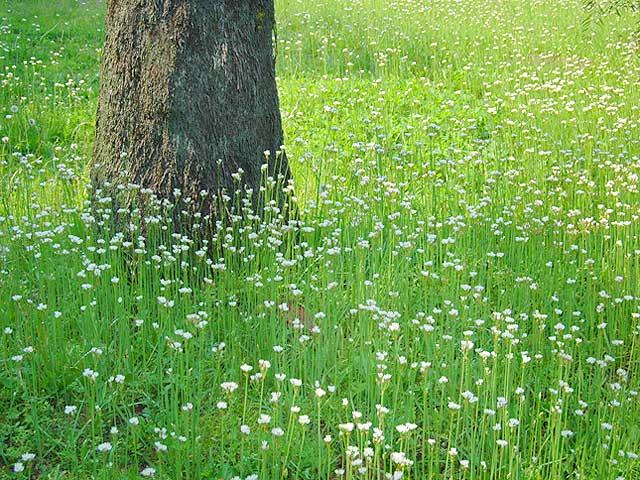 ハタケニラ(風景 Landscape) 畑韮 はたけにら Wild onion Onion weed ハタケニラ