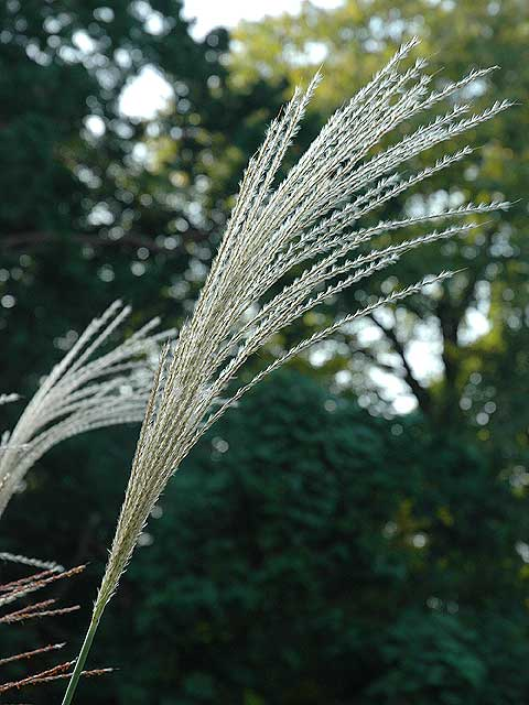 ススキ 薄 すすき Japanese pampas grass Saw grass 南雲